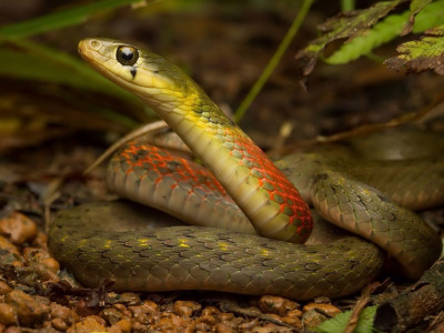 Лес, природа, змея, Rhabdophis subminiatus, Red necked keelback