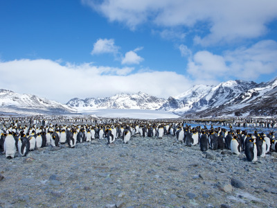 Обои Пингвины на фоне гор, Southern Ocean, South Georgia, St. Andrews Bay, Few King Penguins скачать