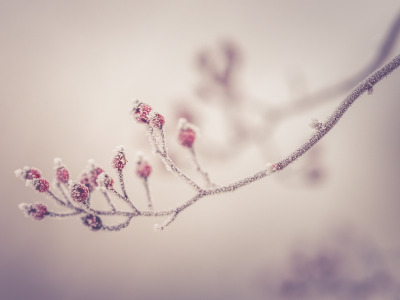 Обои wild berries, morning, branch, Winter, frost, berries скачать